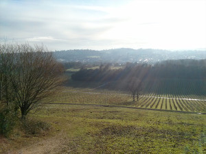 Denbies vineyard in the winter sun